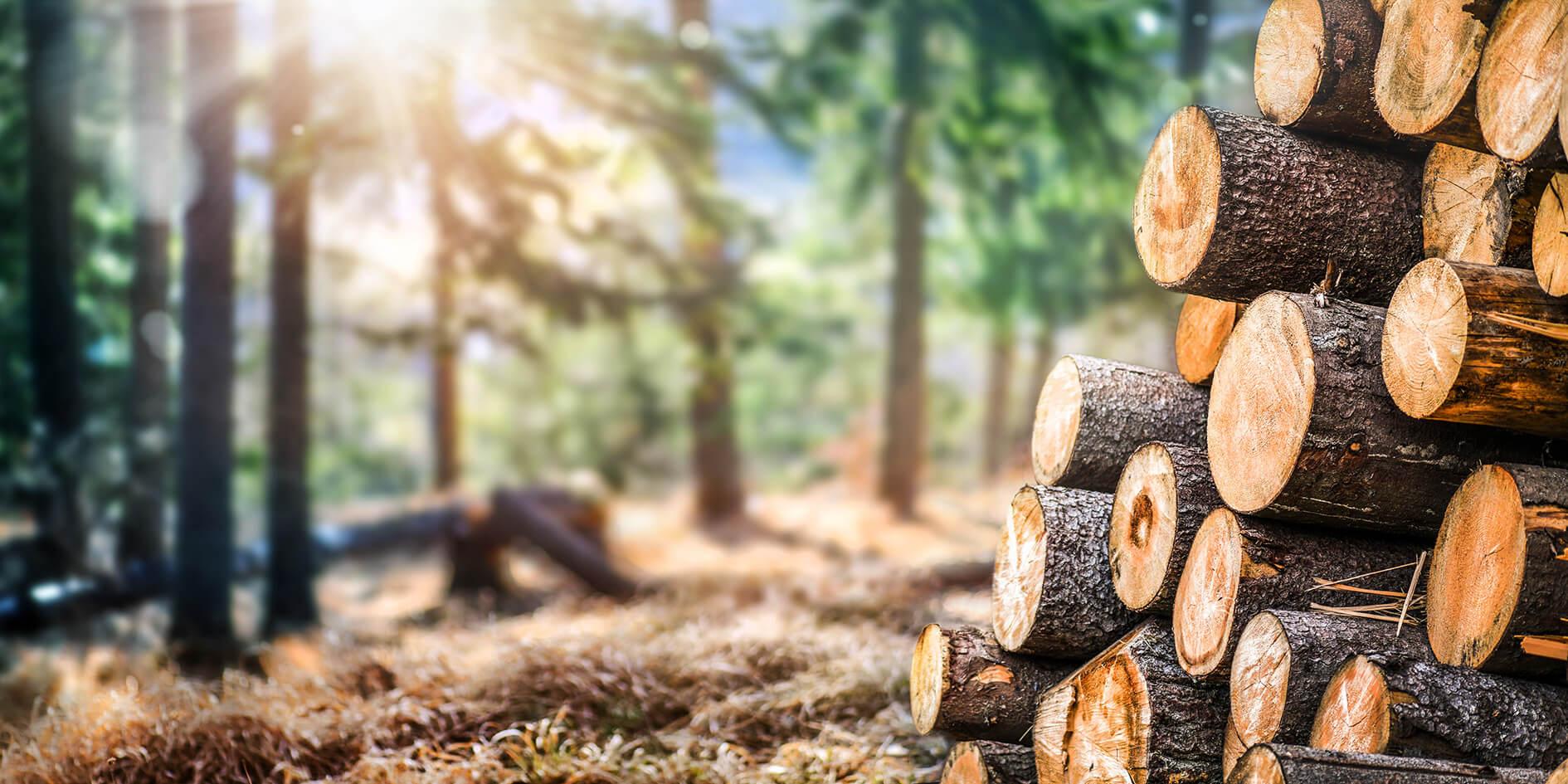 Waldstimmung mit gefällten Baumstämmen